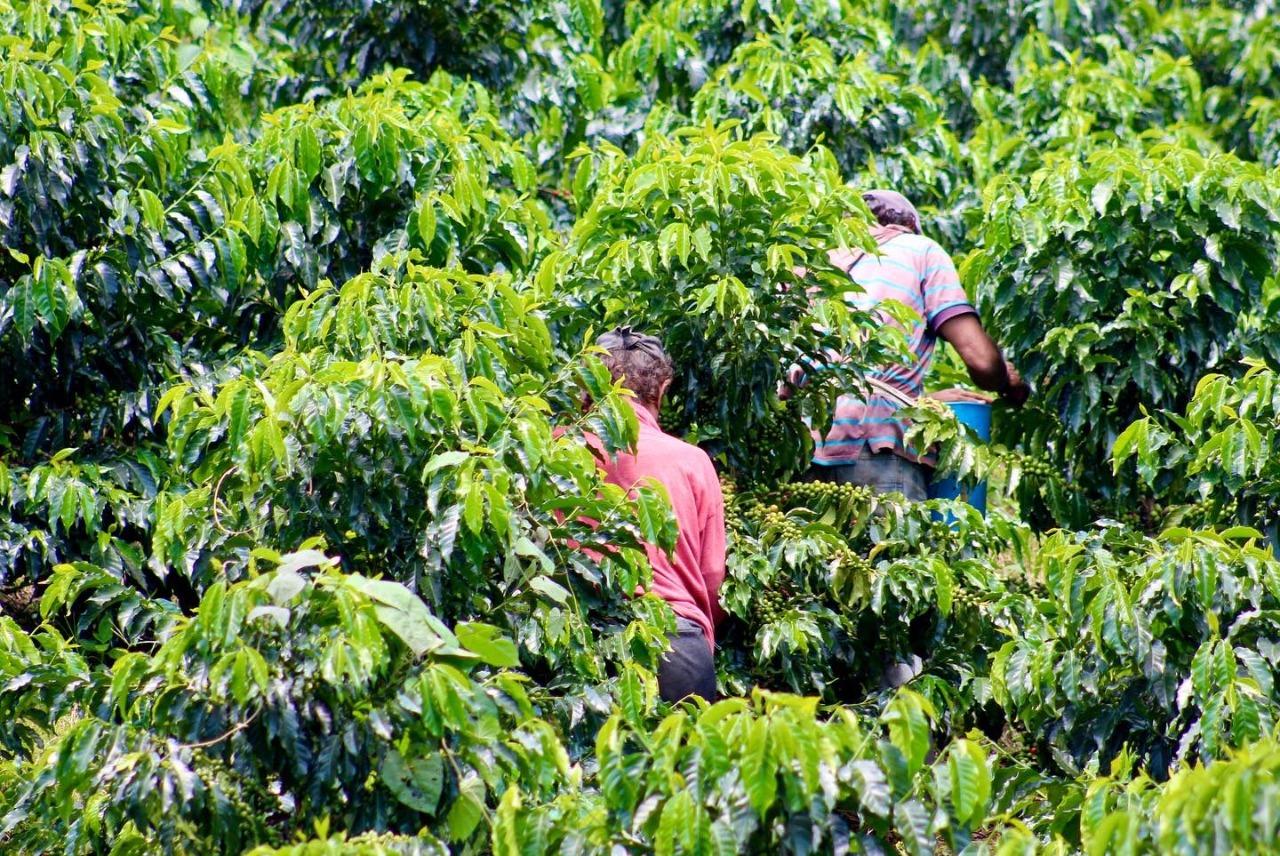 100 vacantes para recolectores de café están disponibles en la Agencia Pública de Empleo del SENA