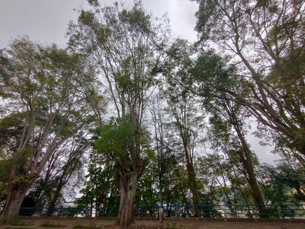 Por mal estado, Secretaría de Medio Ambiente talará tres árboles en el barrio Milán